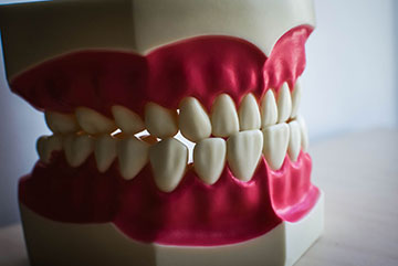 Teeth (Dental Model)